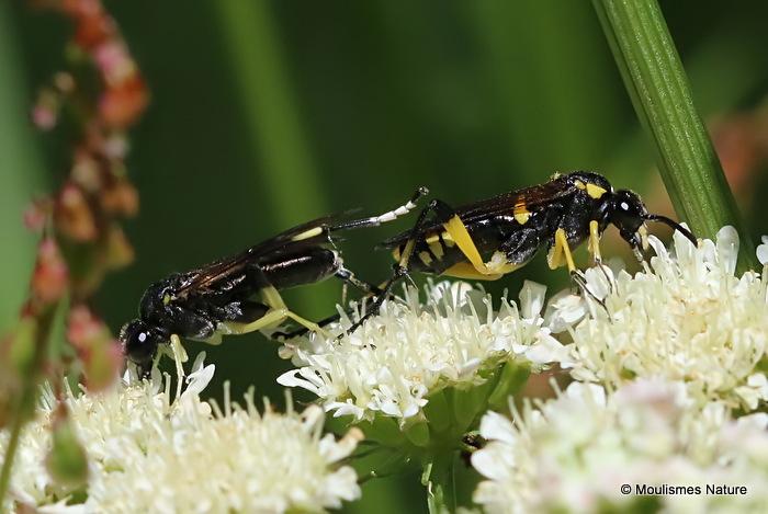 Macrophya montana (Sawfly sp.) M, F