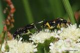 Sawfly sp. Macrophya montana M, F