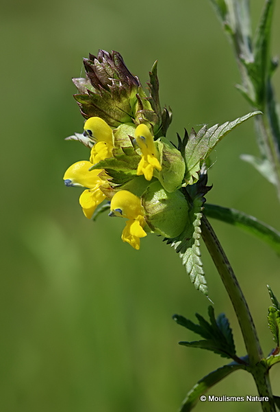 Rhinanthus (Yellow Rattle) sp
