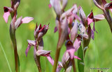 Tongue orchid (Serapias lingua), Serapias langue