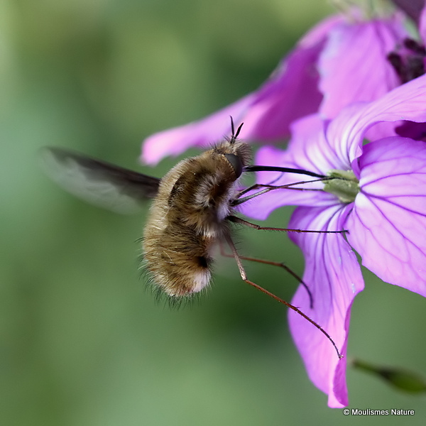 Large Bee-fly (Bombylius major)