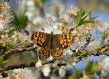 Wall Brown (Lasiommata megera) F