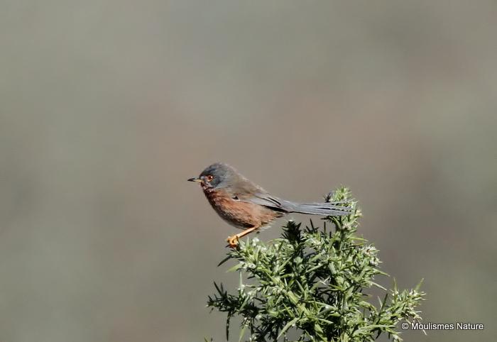 Dartford Warbler (Sylvia undata) F