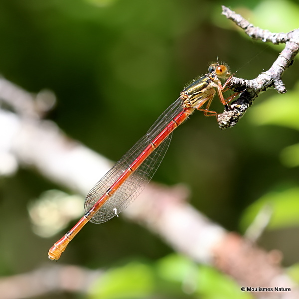 Small Red Damselfly (Ceriagrion tenellum) F-Imm