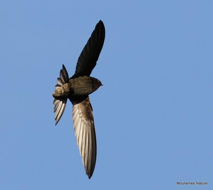 Common Swift (Apus apus) Ad