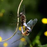 Scarce Chasers (Libellula fulva)