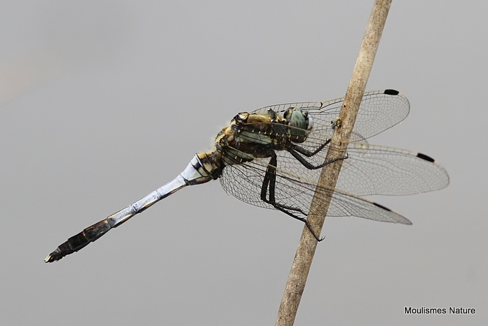 White-tailed Skimmer (Orthetrum albistylum) M, Orthetrum a cercoides blancs