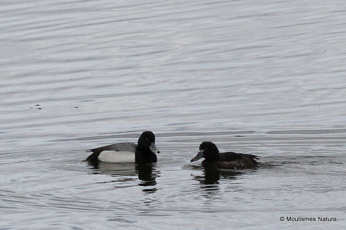 Greater Scaup (Aythya marila) M