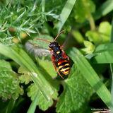 Painted Nomad Bee (Nomada fucata) F