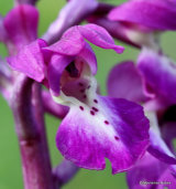 Early Purple Orchid (Orchis mascula), Orchis male