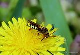 Gooden's Nomad Bee (Nomada goodeniana) F