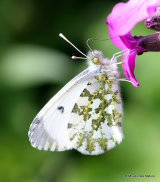 Orange Tip (Anthocharis cardamines) F