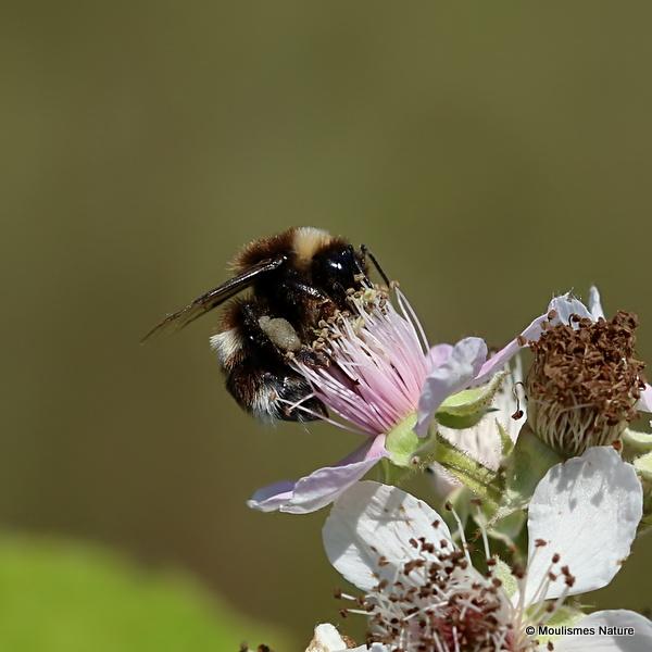 Broken-belted bumblebee (Bombus soroeensis)