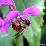 Mason bee sp. Osmia cornuta
