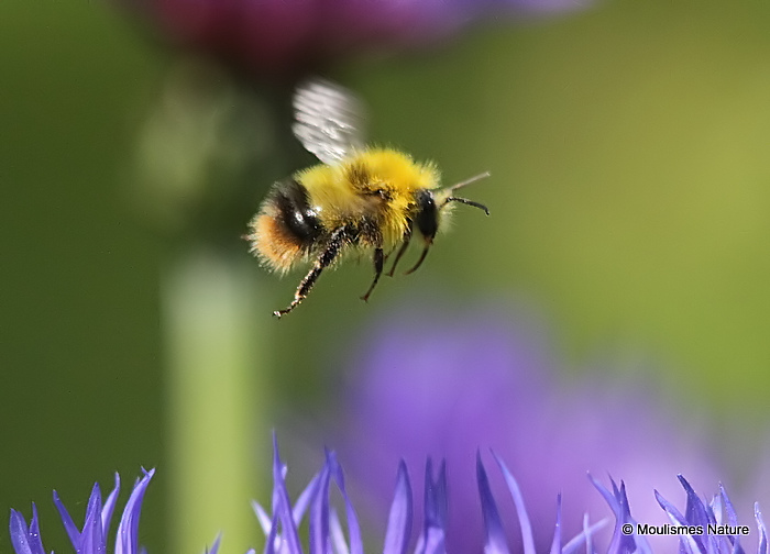 Early bumblebee (Bombus pratorum) M