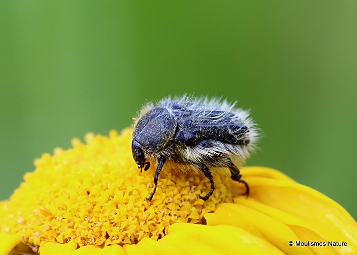 Hairy Beetle (Epicometis hirta)