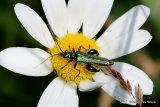 False Oil Beetle (Oedemera nobilis) M