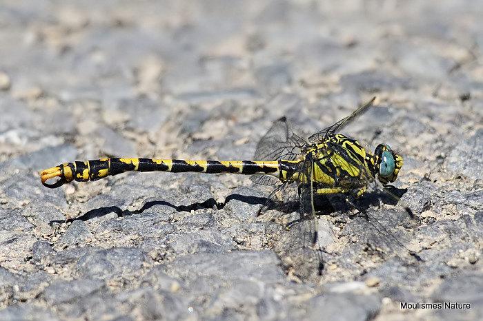 Blue-eyed Hooktail (Onychogomphus uncatus) M, Gomphus a crochets