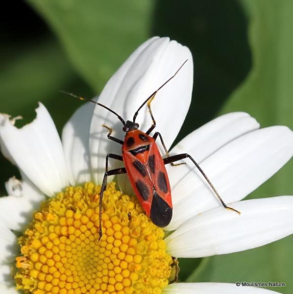 Mirid bug sp. Calocoris nemoralis