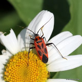 Mirid bug sp. Calocoris nemoralis