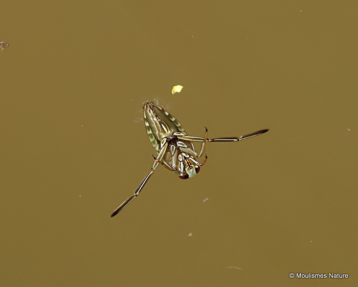 Water Boatman sp. (Corixidae sp.)