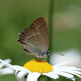 Sloe Hairstreak (Satyrium acaciae)