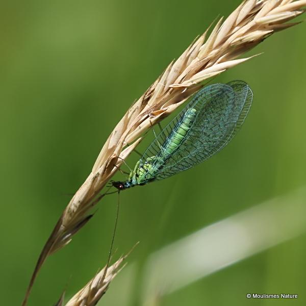 Green Lacewing (Chrysopa perla)