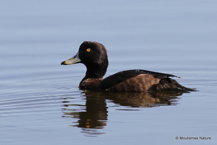 Tufted Duck (Aythya fuligula) F-S