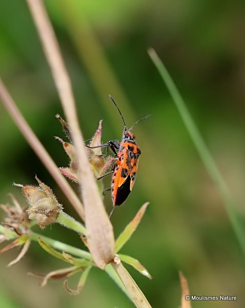 Black & Red Squash Bug (Corizus hyoscyami)