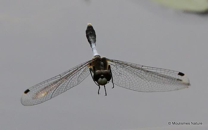 Dainty White-faced Darter (Leucorrhinia caudalis) M