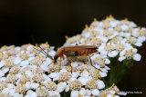 Soldier beetle (Cantharidae) sp.