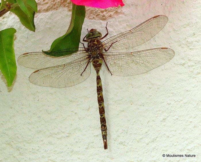 Dusk Hawker (Boyeria irene) F