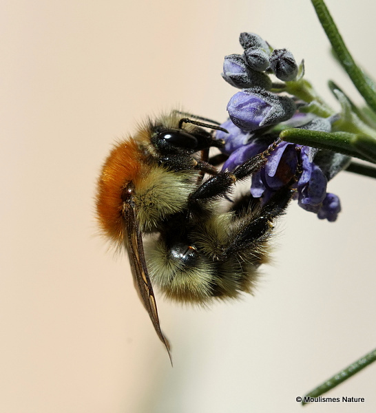 Carder-bee (Bombus) sp.