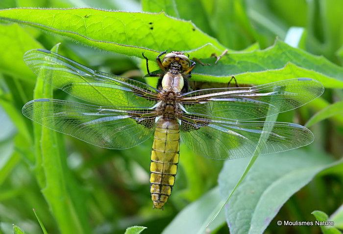 Broad-bodied Chaser (Libellula depressa) F-ten