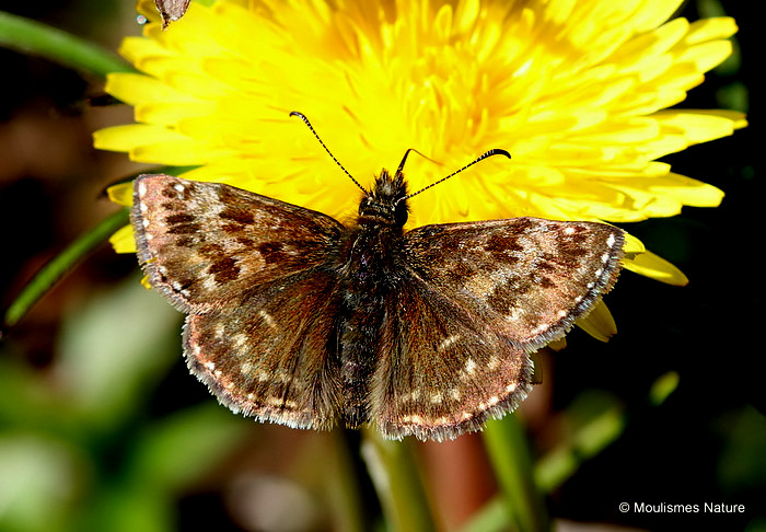Dingy Skipper (Erynnis tages) M