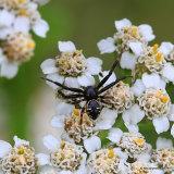 Crab spider (Synema globosum)