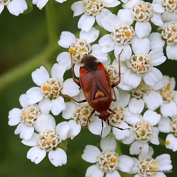 Red Bug (Deraeocoris ruber)