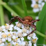 Crab spider (Xysticus robustus)