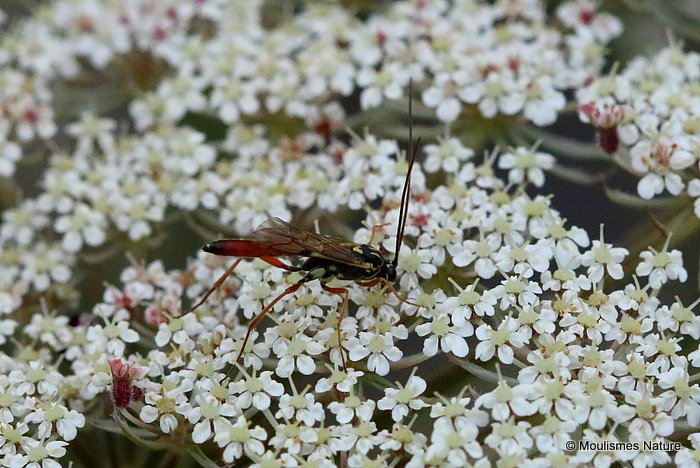 Parasitic wasp sp.