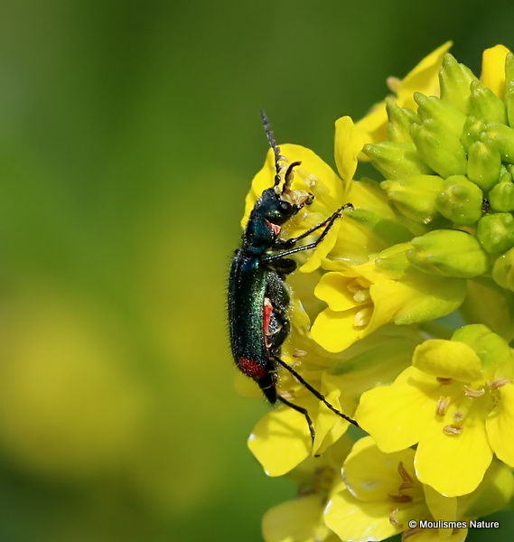 Malachite Beetle (Malachius bipustulatus) F