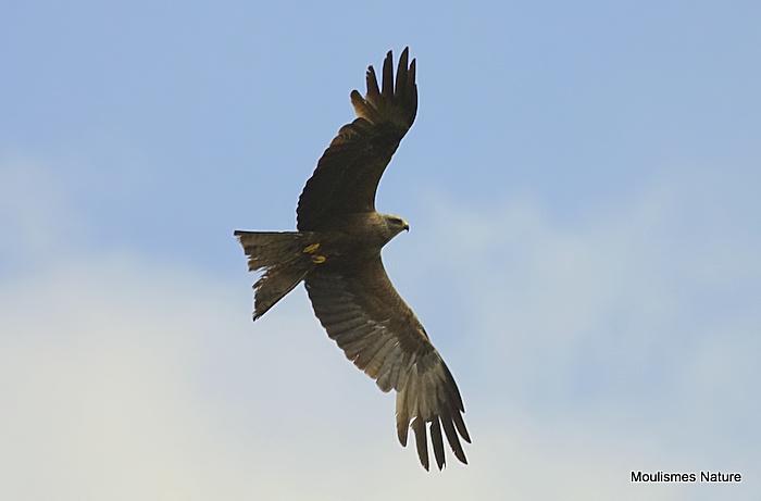 Black Kite (Milvus migrans) Ad