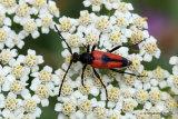 Longhorn Beetle sp. (Stictoleptura cordigera)