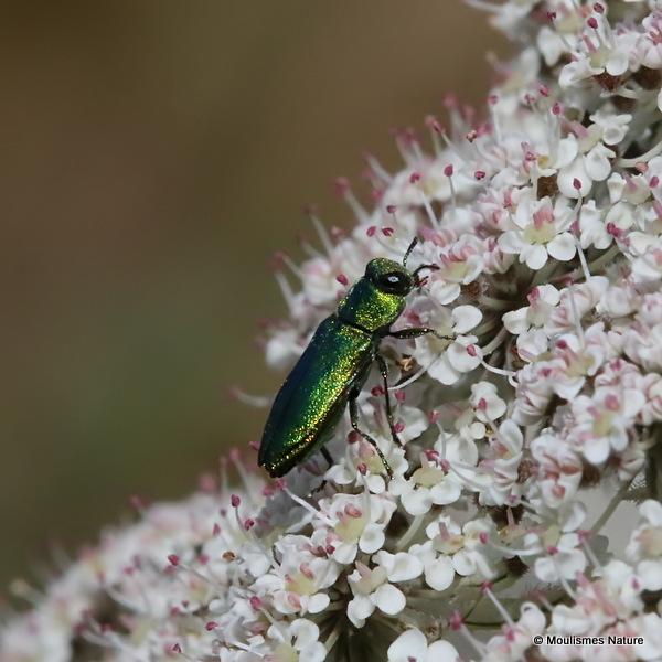Jewel Beetle sp. Anthaxia millefolii polychloros