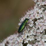Jewel Beetle sp. (Anthaxia millefolii polychloros)