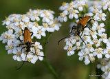 Longhorn Beetle sp. (Brachyleptura fulva)