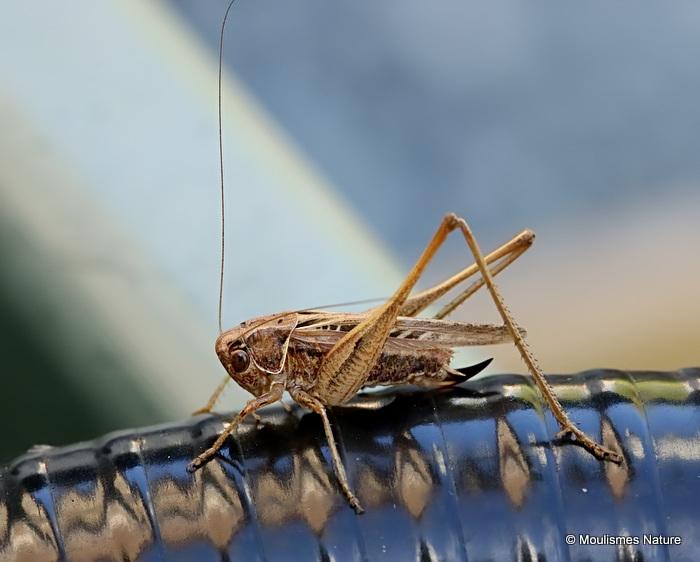 Brown-spotted Bush-cricket (Tessellana tessellata tessellata)