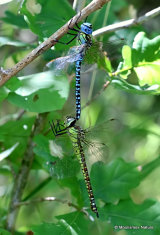 Southern Migrant Hawkers (Aeshna affinis)