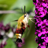 Broad-bordered Bee Hawkmoth (Hemaris fuciformis)