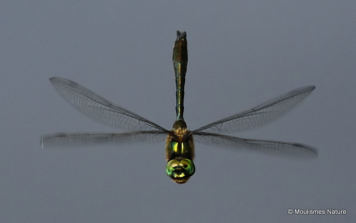 Downy Emerald (Cordulia aenea) M