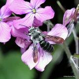 Violet-winged Mining-bee (Andrena agilissima) M